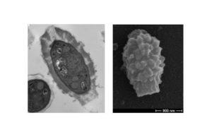 spores of cryptococcus